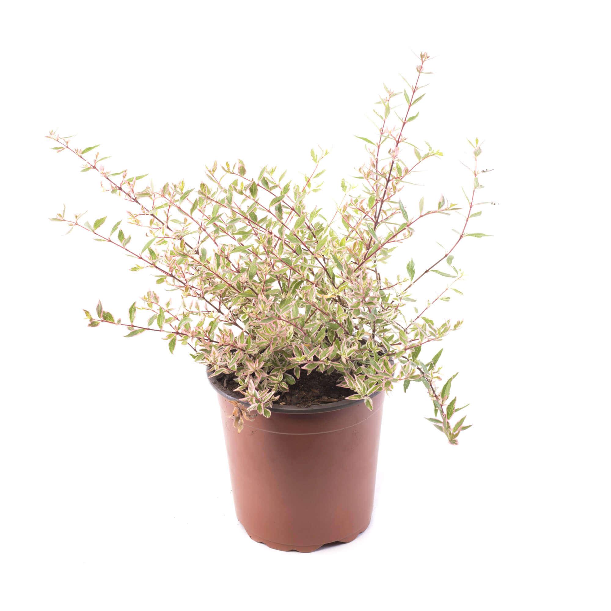 Plantas de exterior categor as de productos grupo hijuelas for Vivero hijuelas