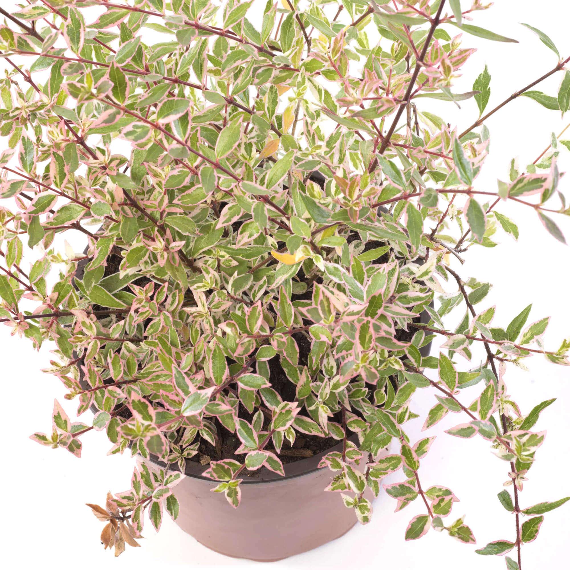 Abelia grandiflora variegado grupo hijuelas for Vivero hijuelas
