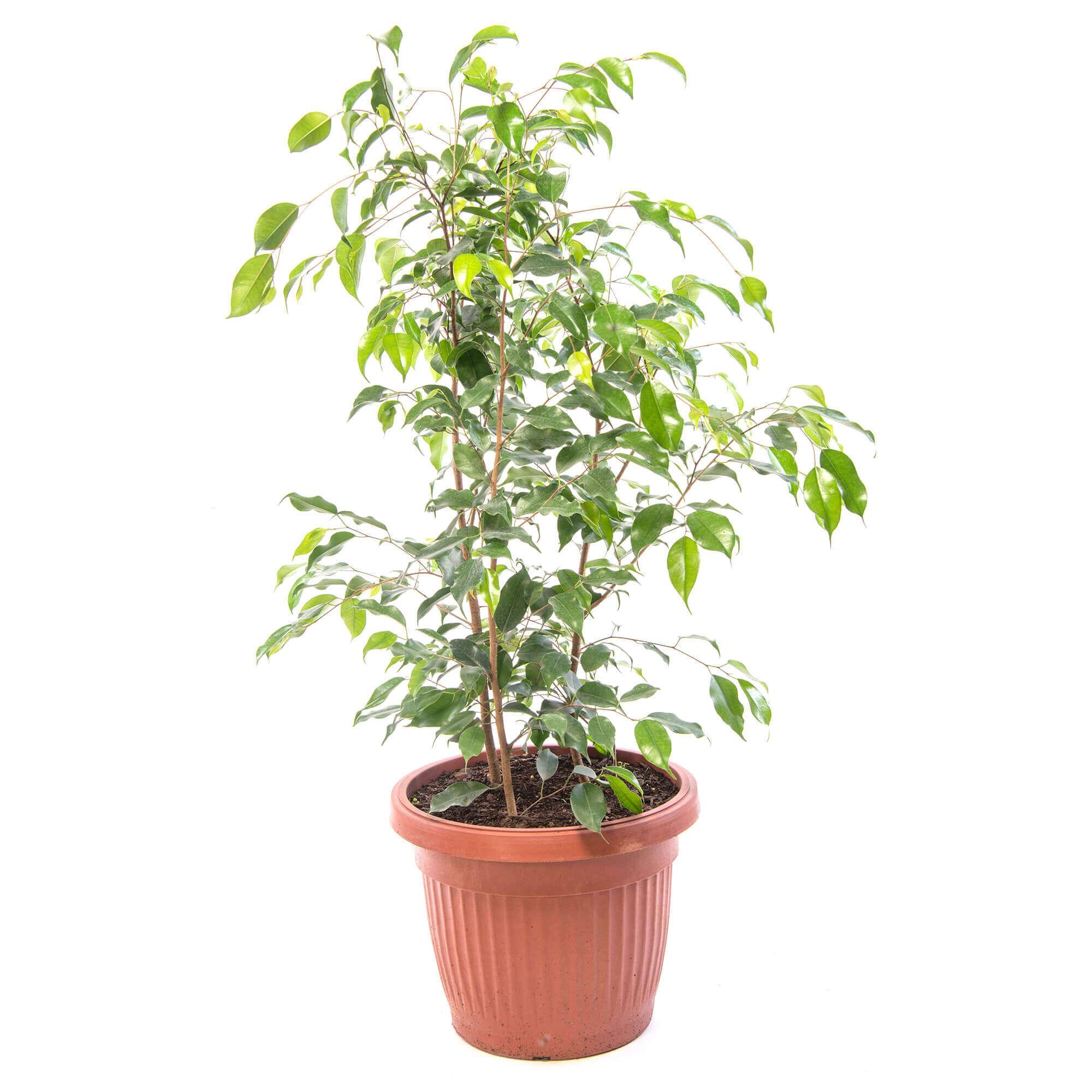 planta ficus